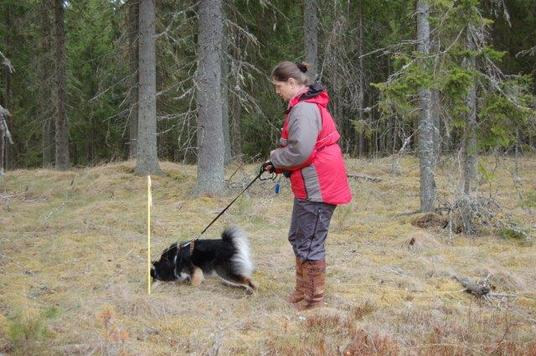 Starlapps Finnish Lapphunds tracking
