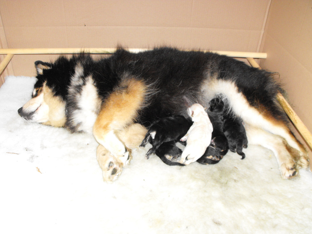 Starlapps Breeding Litter Puppies
